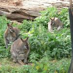 Wallaby-005