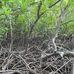 Martinique - Mangrove