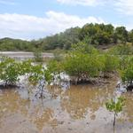 Martinique-Mangrove-002