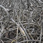 Martinique-Mangrove-006