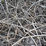 Martinique-Mangrove-007