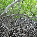 Martinique-Mangrove-008