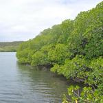 Martinique-Mangrove-011
