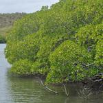Martinique-Mangrove-012