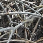 Martinique-Mangrove-015