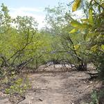 Martinique-Mangrove-019